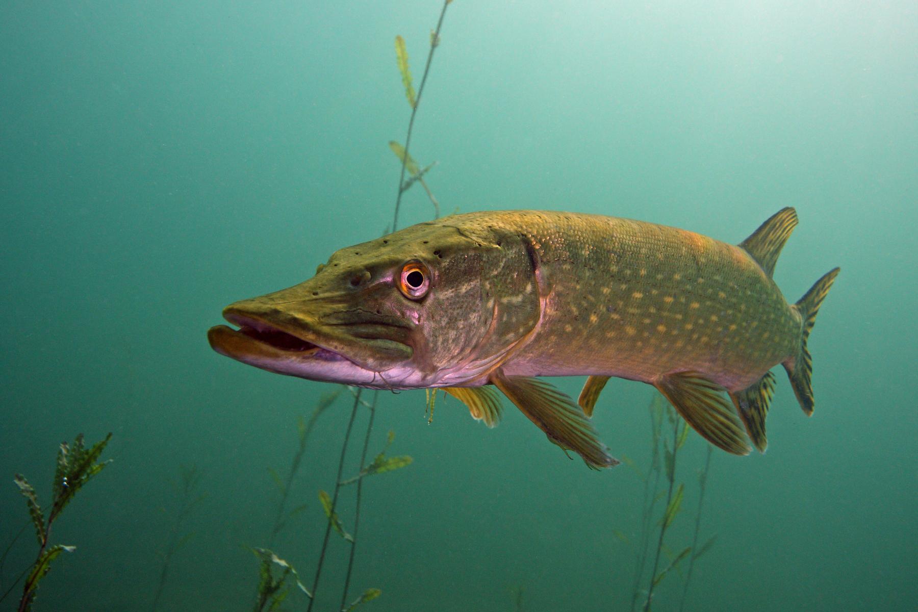 Fisch des Jahres 2016: Der HECHT (esox lucius) | eat, sleep, go fishing
